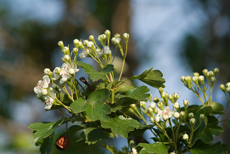 Haw berry, buds and flowers