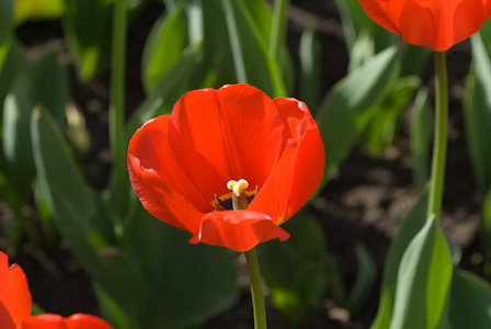 Red tulips with sun