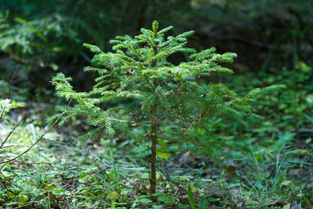 Small Spruce